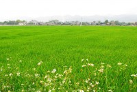 Cấp nước kịp thời tưới dưỡng cho lúa vụ Mùa muộn năm 2017